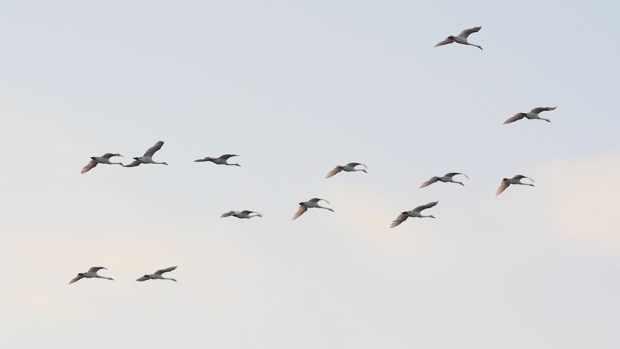Лебеди Кликуны мигрируют