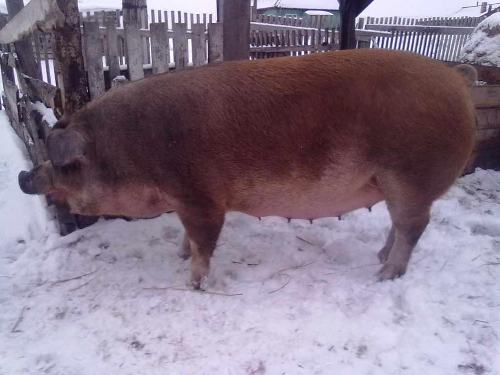 Свиноматка дюрок