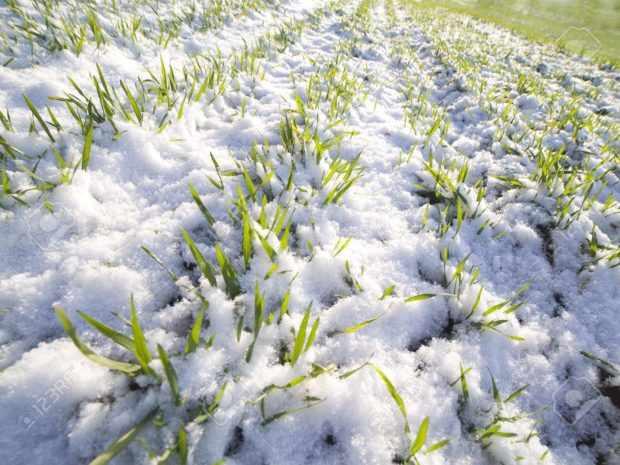 Зимовка озимой пшеницы