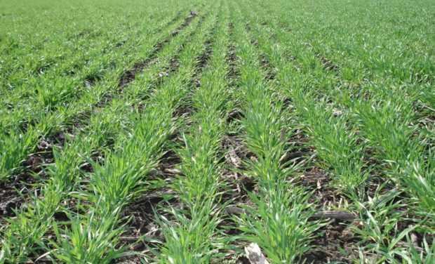 Всходы яровой пшеницы
