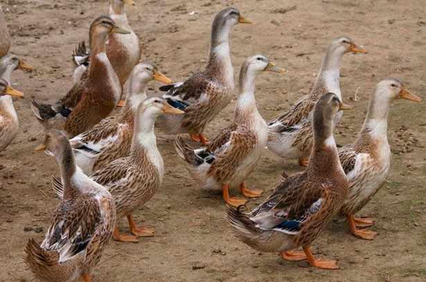 Башкирские утки