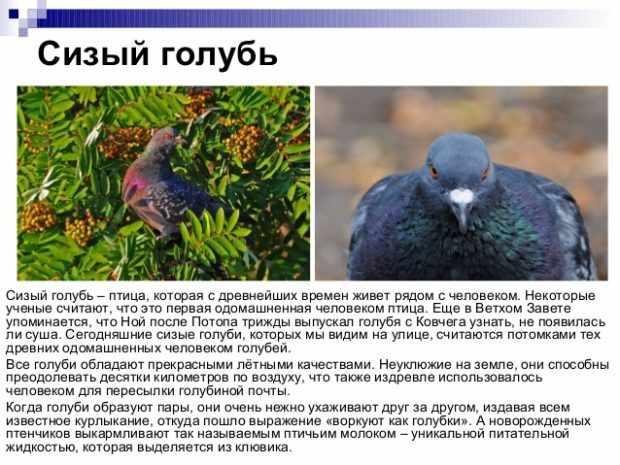 Информация о сизых голубях