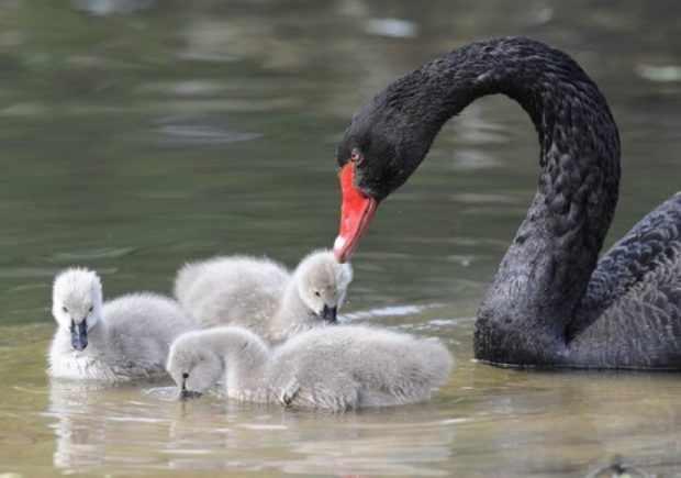 Черный лебедь с птенцами