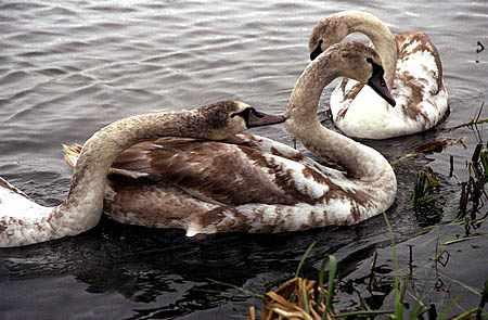 Молодые лебеди - окрас