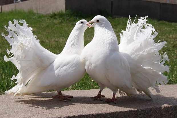 Голуби павлиныочень красивы