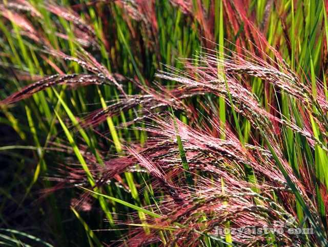 Рис краснозерных форм
