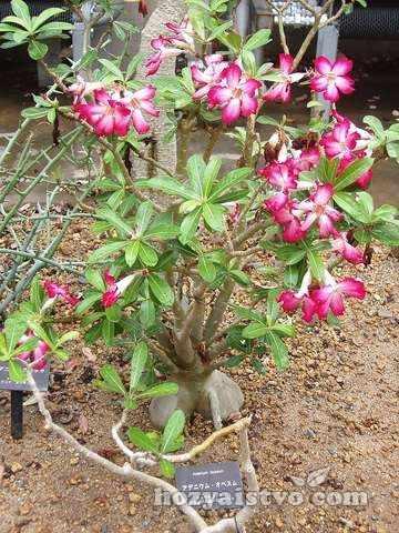 Адениум (роза пустыни)