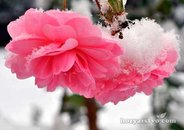 Защитить цветы от заморозков