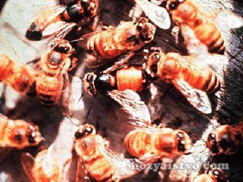 вирусный_паралич_пчел