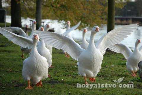 chineese goose