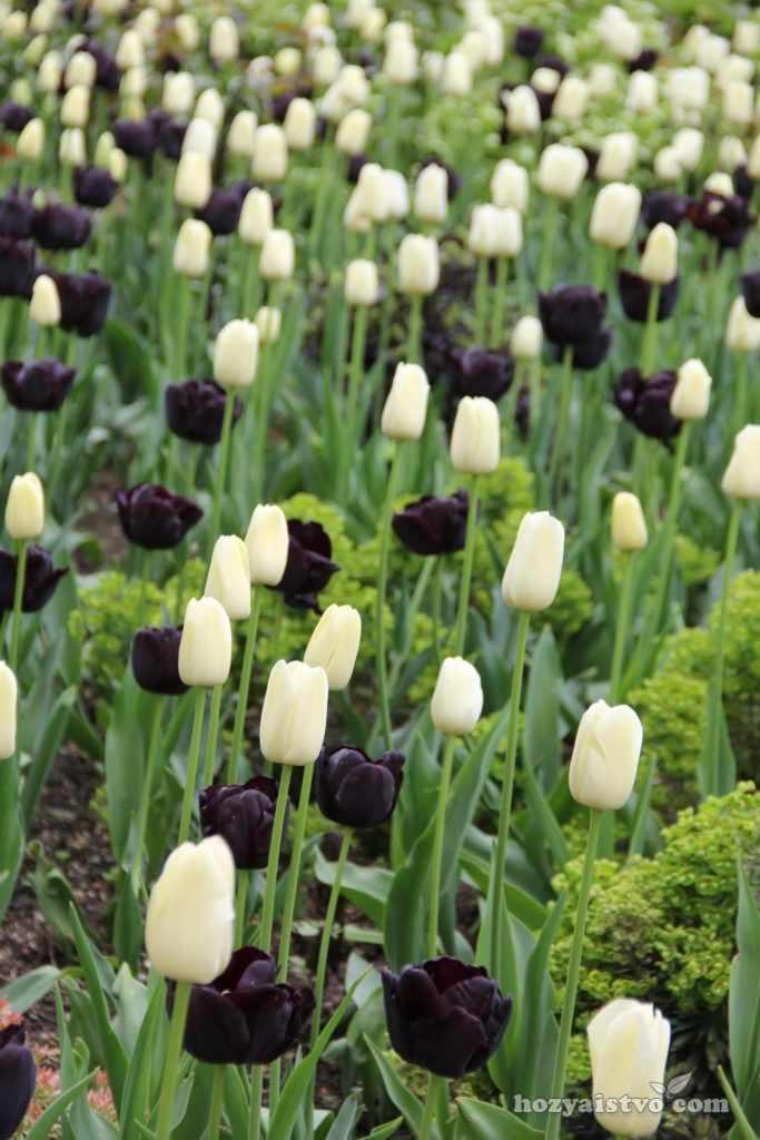 Тюльпаны белые черные