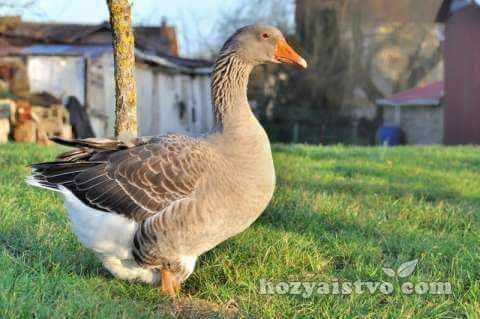 goose grey