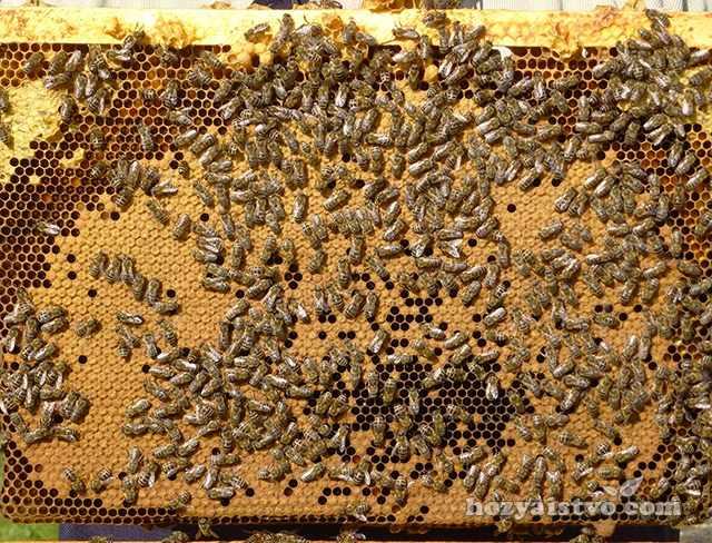 Запечатанный расплод карпатской пчелы