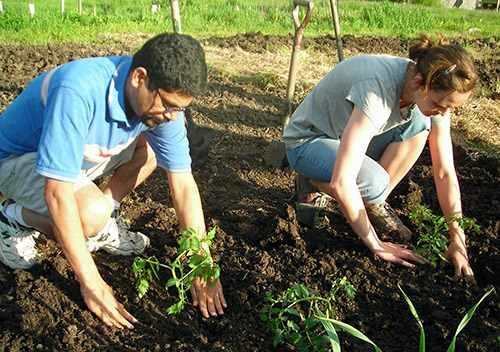 Выращивание томатов на грядках