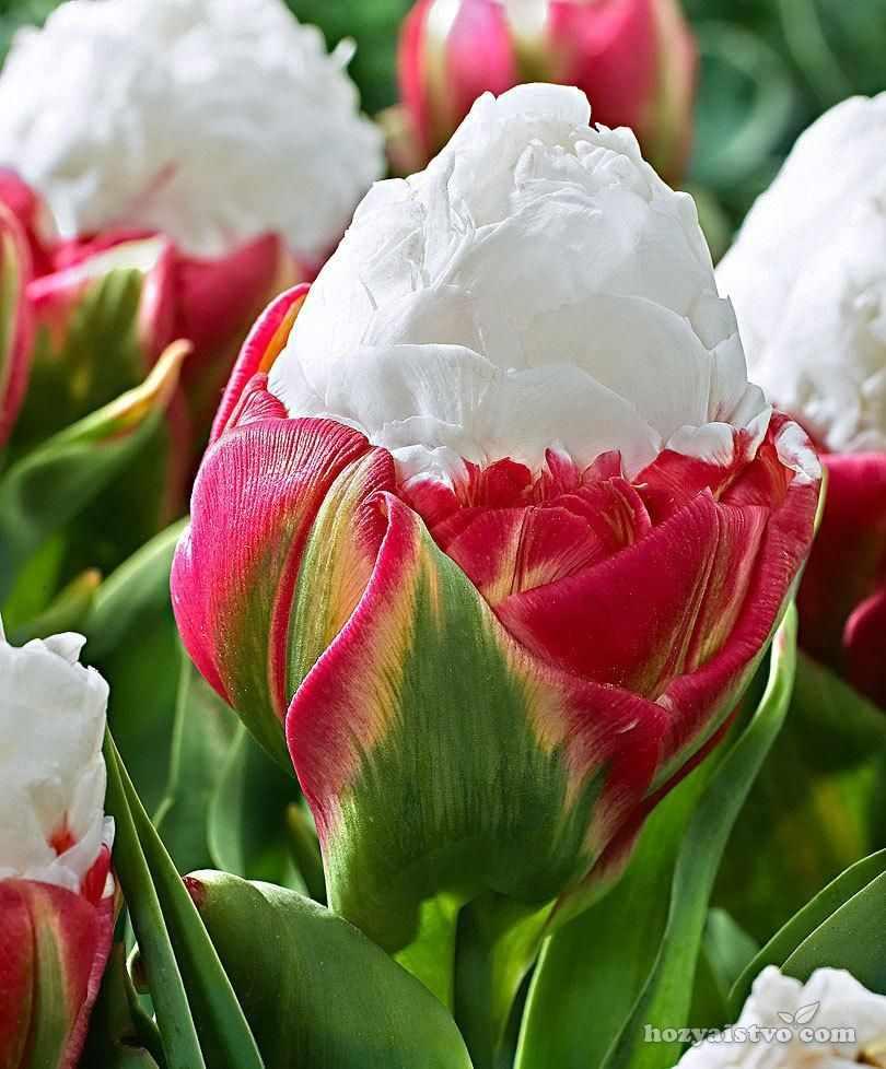 Тюльпан Мороженое