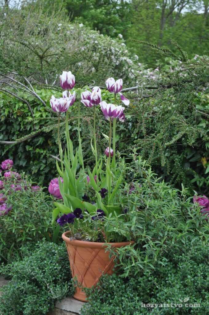 Тюльпаны в контейнерах