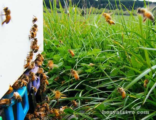 Поведение пчел на прилетной доске улья