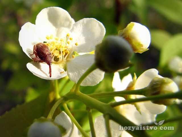 Яблонный цветоед меры борьбы