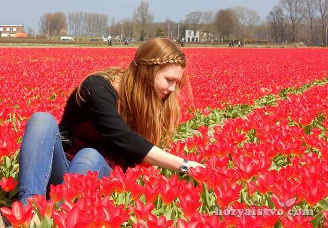 История тюльпана