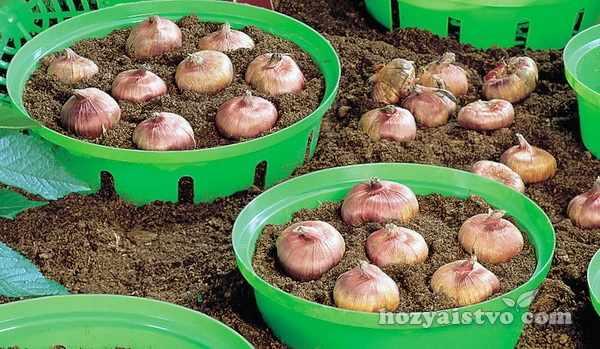Выращивание тюльпанов в прикопанных корзинах