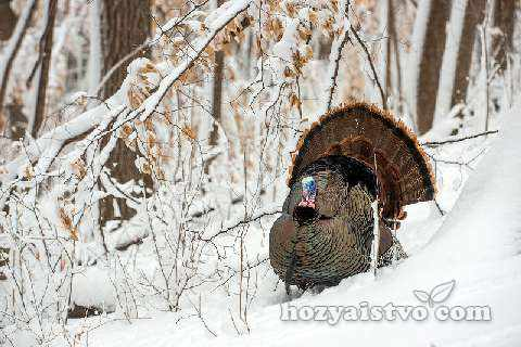 индейка_в_сугробе