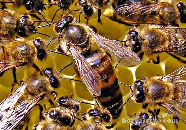 Карпатка порода пчел