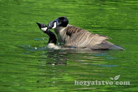 gusi-v-vode