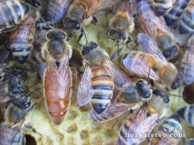 Пчеловождение - наука о пчелах