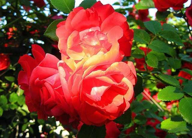 Выбор сорта роз для сада