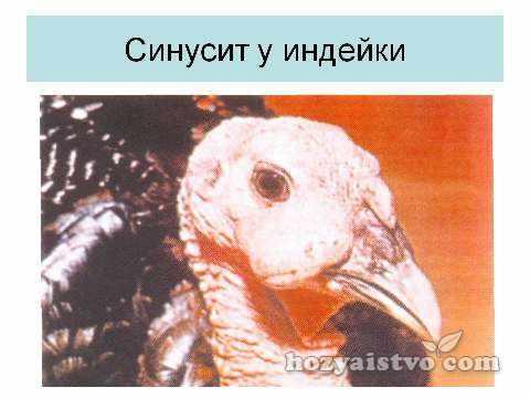 синусит_у_индейки