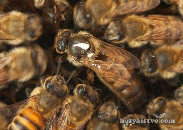 Аттрактивность матки пчел