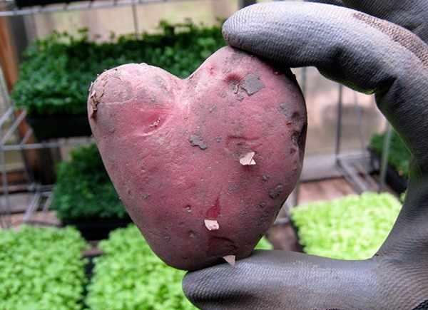 Возделывание картофеля