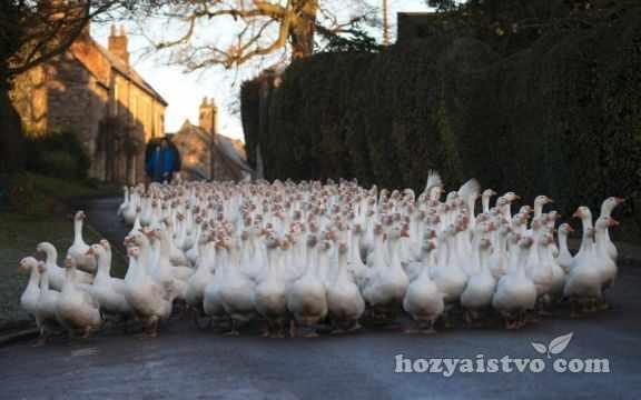 staya goose