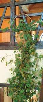 Тропические лианы в доме