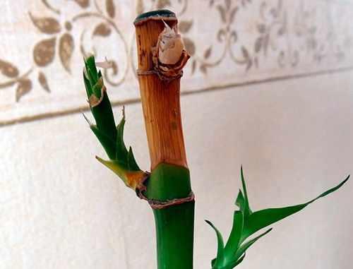 Сохнет бамбук