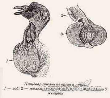 intestine of geese