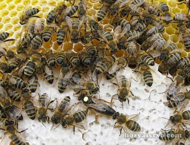 Внешний вид карпатской пчелы