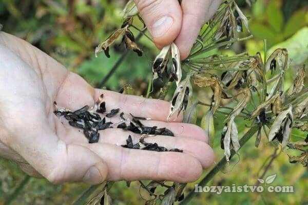 semena agapanthus