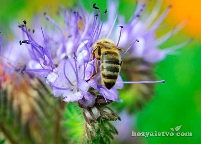 Лучшие медоносы для пчел