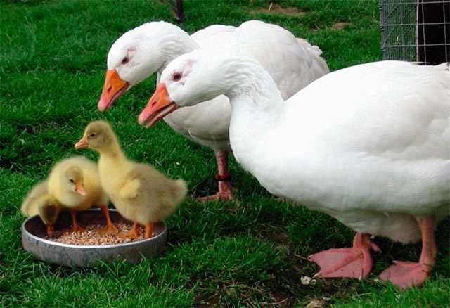 Разведение домашних гусей