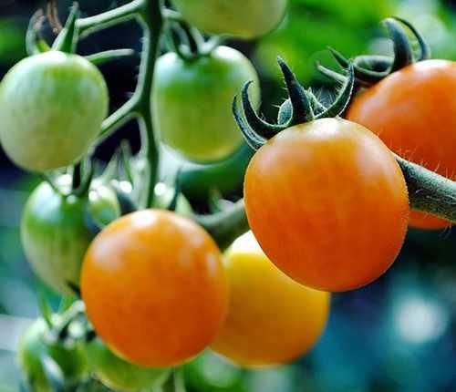 Обильный урожай томатов
