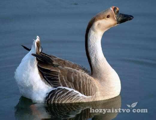 africane goose in water