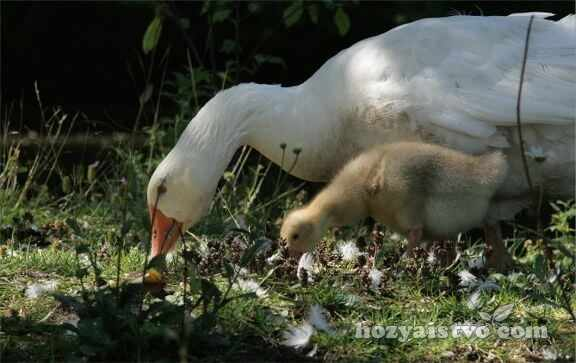 goose and little goose