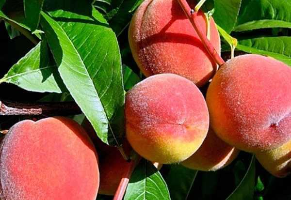 Приморские персики