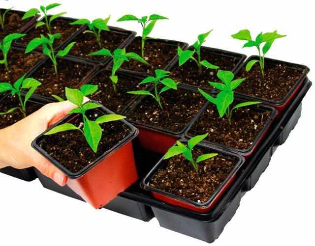 Выращивание многолетников из семян