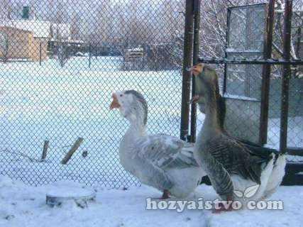 Холмогорский_гусь_зимой