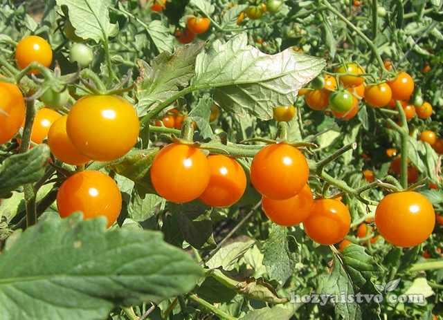 Сорта томатов для консервирования