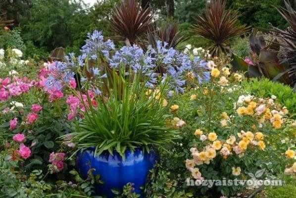 agapanthus s drugimi cvetami