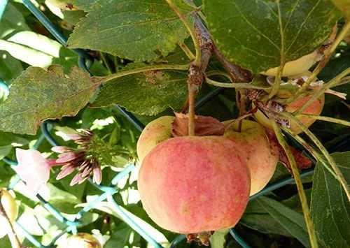 Заболевший сад, поражение листьев яблони