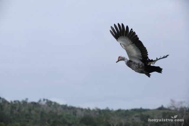 Мускусные утки отлично летают